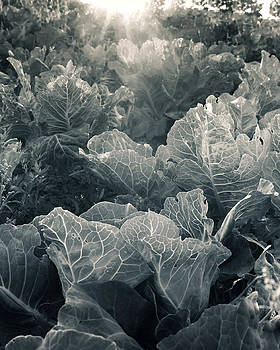 White Cabbage by Susanne Kopp