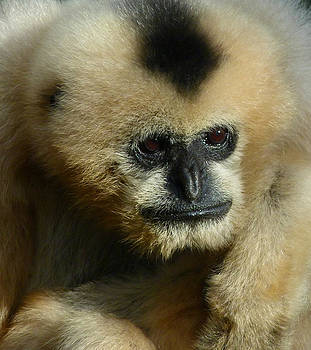 Margaret Saheed - White-Cheeked Gibbon
