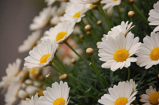 White daisies by Dany Lison