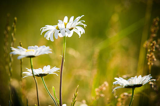 White Daisies by Matt Dobson