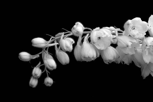 White Delphinium by Rebecca Skinner