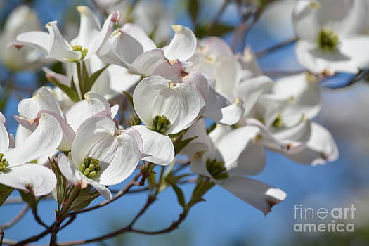 White Dogwood Flowers by P S