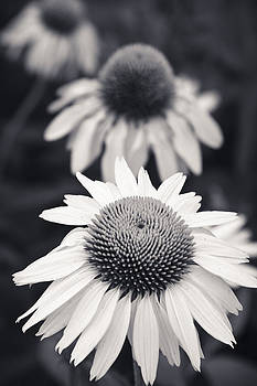 Adam Romanowicz - White Echinacea Flower or Coneflower