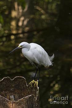 White Egret On a Stump by Steve Triplett