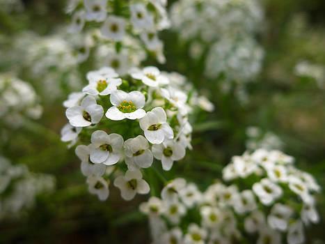 White Flowers in Maui Hawaii by Caffrey Fielding