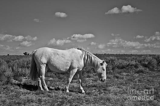 Dave Gordon - White Horse in the High Desert BW