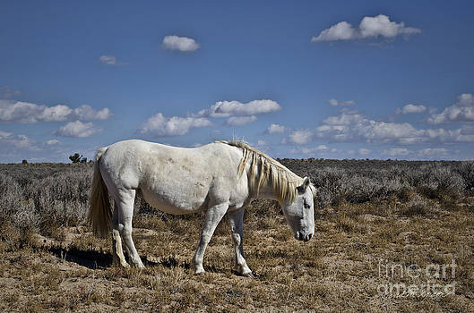 Dave Gordon - White Horse in the High Desert