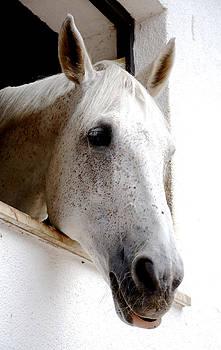 White horse by Maurizio Incurvati