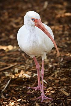 Adam Romanowicz - White Ibis