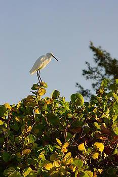 White Ibis and Sea Grapes by John Myers