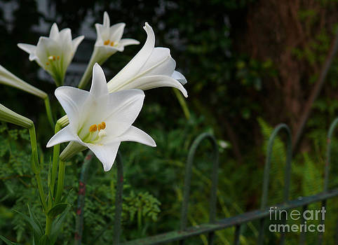 White Lilies by Jeanne  Woods