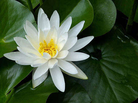 Water Lily Supreme by Pete Trenholm