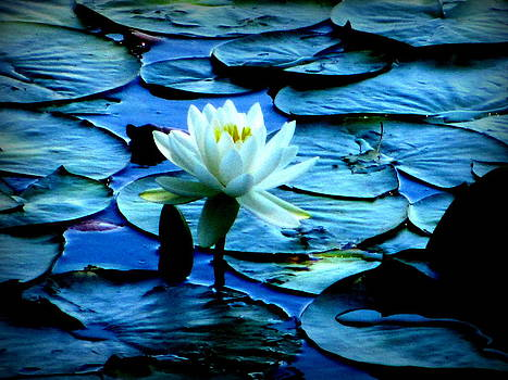 White Lily by Maria Scarfone