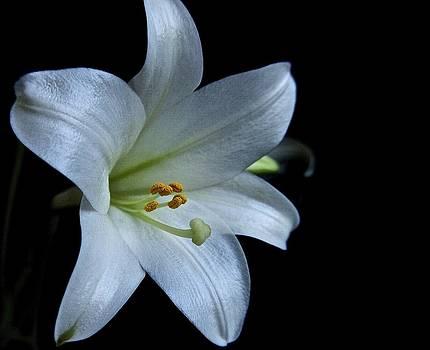White Lily on Black by Lori Miller