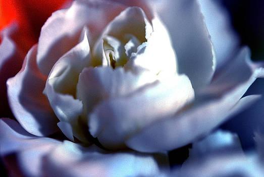 Cindy Boyd - White Mini Carnation
