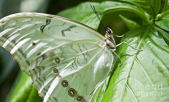 Joann Copeland-Paul - White Morpho Butterfly