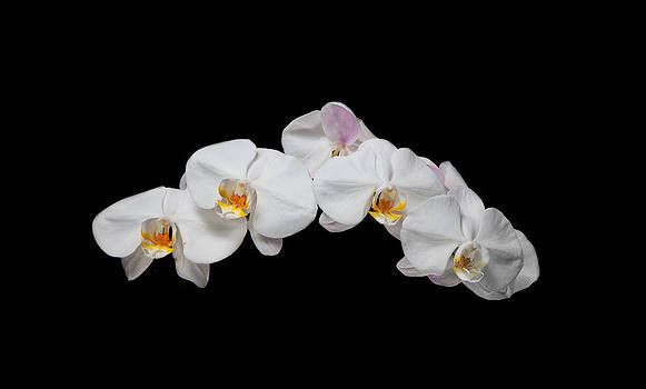 White Orchid by David Kittrell