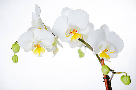 White Orchid by Kelly Anderson