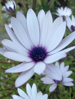 Tracey Harrington-Simpson - White Osteospermum Flower Daisy With Purple Hue