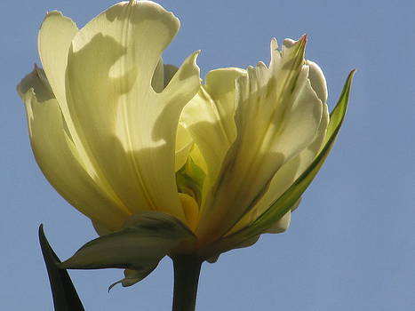 Alfred Ng - white parrot tulip