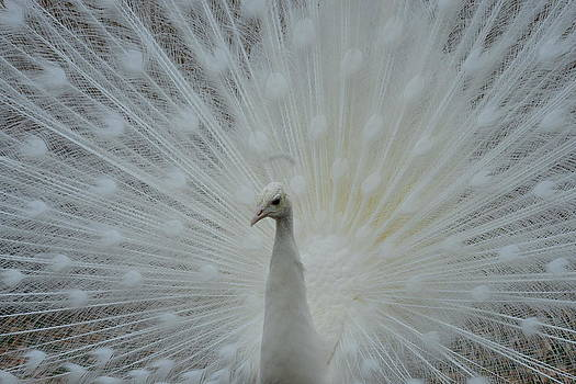White Peacock by T C Brown