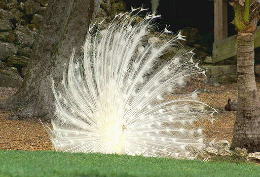 White Peacock by Tina Stoffel