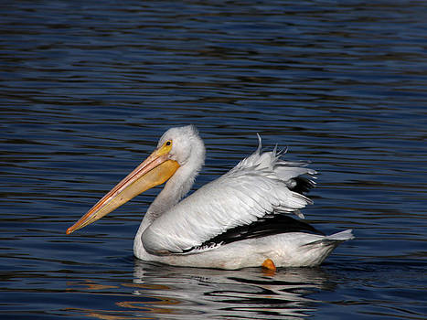 White Pelican by Bob and Jan Shriner