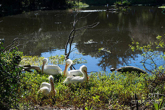 Wingsdomain Art and Photography - White Pelican DSC2932