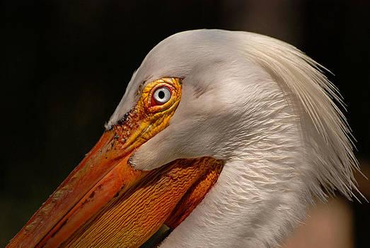 White Pelican Portrait by Lorenzo Cassina