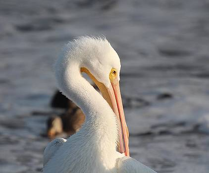 White Pelican Profile by John Dart