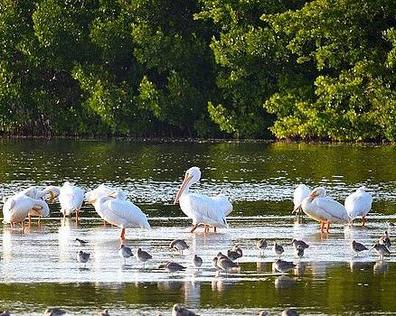 White Pelicans by Diana Berkofsky