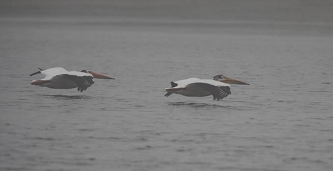 White Pelicans Glide II by John Dart
