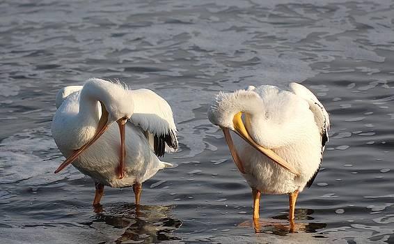 White Pelicans Preening by John Dart