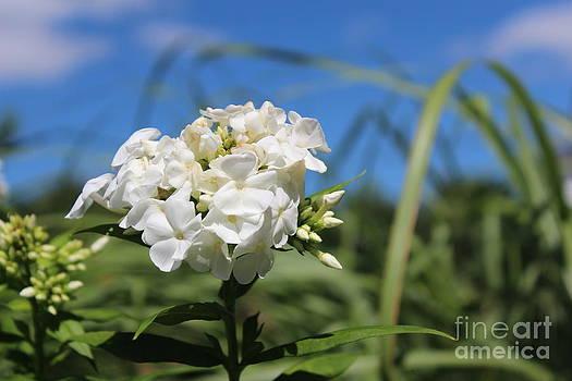 White Phlox by Margaret Hamilton