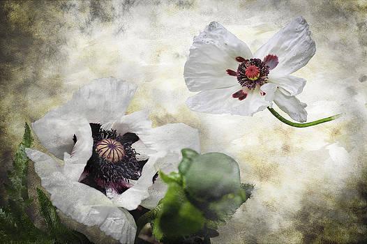 White Poppies by Matthew Bruce