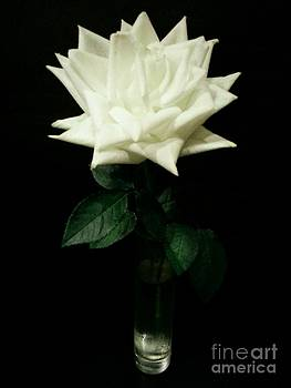 White Rose Bloom by Imani  Morales