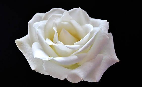 White Rose by Catherine Davies