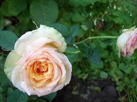 White Rose by Galina Todorova