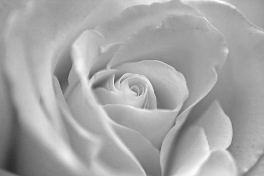 White Rose by Joan Powell