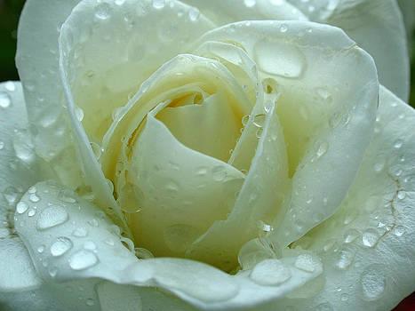 Juergen Roth - White Rose