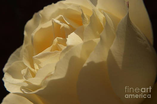 White Rose by Sherry Vance