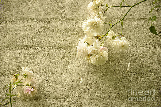 White roses on a wall by Gry Thunes