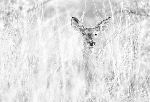White-tail Doe high key by Christopher L Nelson
