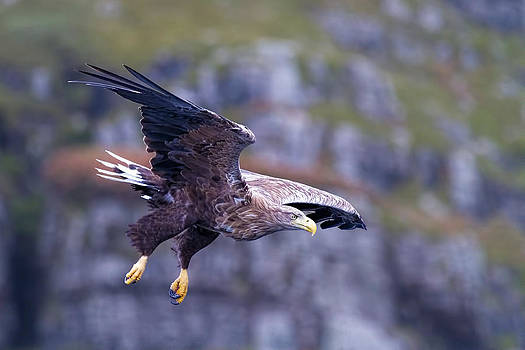 White tailed eagle on Mull Scotland by Mr Bennett Kent