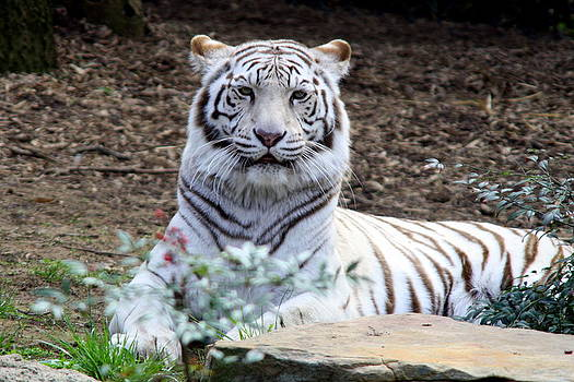 White Tiger  by Jim Johnson