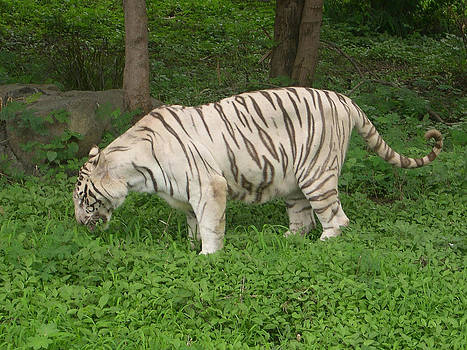 White Tiger by Joe Zachariah