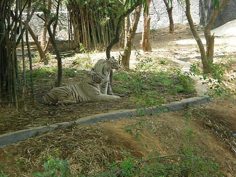White tigers by Siva Guru