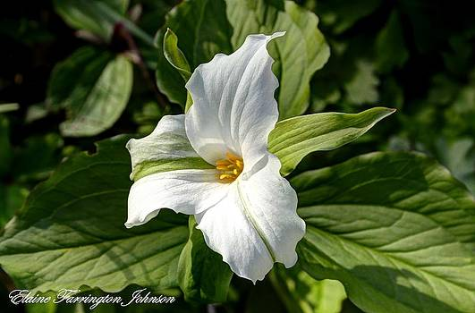 White Trillium by Elaine Farrington Johnson