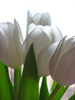 White Tulips by Paul Thomas