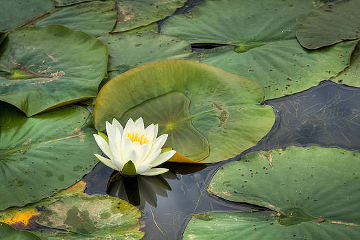 White Water Lily by Matt Dobson